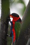 Black-capped Lory (Lorius lory) [west-papua_5145]