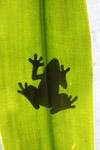 Frog shadow seen through a sunlit leaf