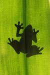 Frog shadow seen through a sunlit leaf [west-papua_5199]