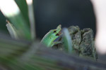 Green lizard eating an insect [west-papua_5207]