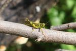 Green-yellow grasshopper