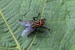 Fly with yellow racing stripes and red eyes