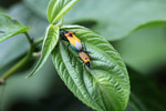 Orange, turquoise, black, and white insects mating [west-papua_5394]