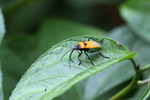 Orange, turquoise, black, and white insect
