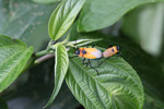 Orange, turquoise, black, and white insects mating [west-papua_5422]