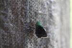 Neon green skipper butterfly [west-papua_5519]