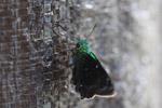 Neon green skipper butterfly [west-papua_5520]