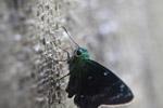 Neon green skipper butterfly [west-papua_5540]