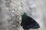 Neon green skipper butterfly [west-papua_5542]