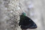 Neon green skipper butterfly [west-papua_5544]