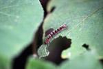 Black, white, red, and yellow caterpillar