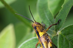 Brown, yellow, and black grasshopper [west-papua_5564]
