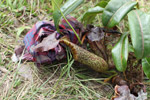 Pitcher plant collected by native Papuans