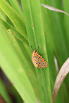 Orange moth with black and yellow polkadots [west-papua_5569]
