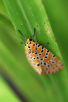 Orange moth with black and yellow polkadots [west-papua_5570]