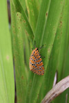 Orange moth with black and yellow polkadots [west-papua_5581]