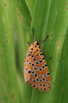 Orange moth with black and yellow polkadots [west-papua_5584]
