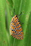 Orange moth with black and yellow polkadots [west-papua_5585]