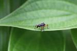 Black weevil with orange legs [west-papua_5597]
