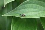 Black weevil with orange legs [west-papua_5598]