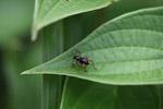 Black weevil with orange legs [west-papua_5599]