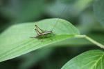 Brown and green katydid