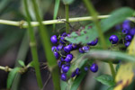 Blue-purple berries