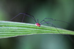 Red harvestman [west-papua_5662]