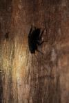 Roach in New Guinea