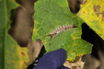 Larva of noctuid moth