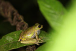 Tree frog in New Guinea (Torrent Litoria species, very probably aligned with Litoria arfakiana) [west-papua_5761]