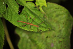 Small stick insect in New Guinea
