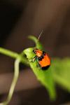 Bright orange and black beetle