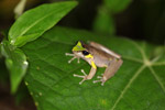 Brown frog with neon green and blue markings (Litoria species) [west-papua_5784]