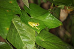 Litoria tree frog in New Guinea [west-papua_5796]
