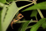Praying mantis in New Guinea [west-papua_5807]