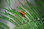 Orange leaf on a fern in New Guinea