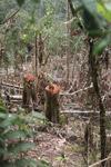 Logging in New Guinea [west-papua_5844]