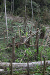 Traditional forest garden in New Guinea