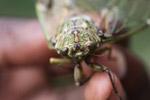 Cicada in New Guinea [west-papua_5858]