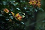 Butterfly feeding on flowers [west-papua_5870]