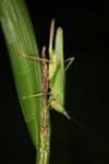 Green katydid [west-papua_5909]