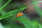 Orange insect with a blue fringe [west-papua_5914]