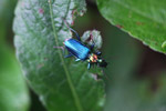Metallic blue, green, and orange beetle (Catascopus sp of the Carabidae family) [west-papua_5938]