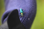 Metallic blue, green, and orange beetle (Catascopus sp of the Carabidae family) [west-papua_5939]