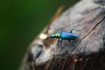 Metallic blue, green, and orange beetle (Catascopus sp of the Carabidae family) [west-papua_5940]