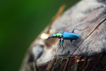 Metallic blue, green, and orange beetle (Catascopus sp of the Carabidae family)