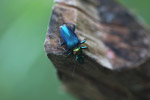 Metallic blue, green, and orange beetle (Catascopus sp of the Carabidae family) [west-papua_5951]