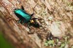 Metallic blue, green, and orange beetle (Catascopus sp of the Carabidae family) [west-papua_5957]