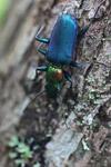 Metallic blue, green, and orange beetle (Catascopus sp of the Carabidae family) [west-papua_5961]